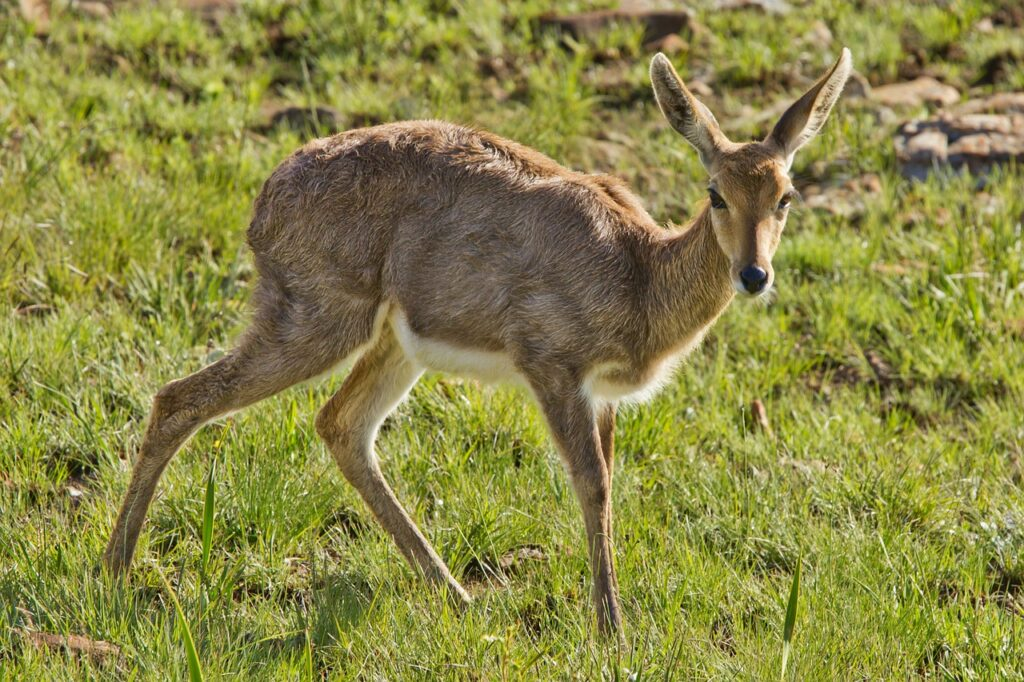 female buck, doe, deer